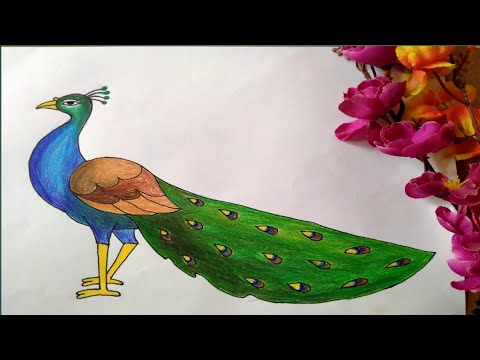 How to draw a peacock with colour pencil step by step || Part- 2