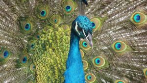 Color peacock drawing of the face