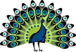 Colorful peacock drawing with feathers spread