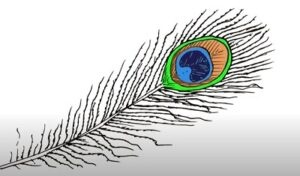 How to draw a peacock feather easy step by step for beginners