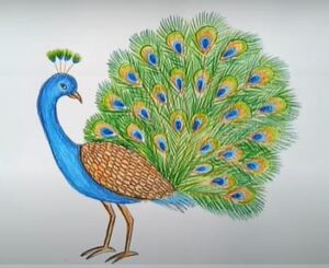 Peacock in color you will learn to draw