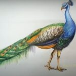 How to Draw a Realistic Peacock - Step by Step & Color Pencil