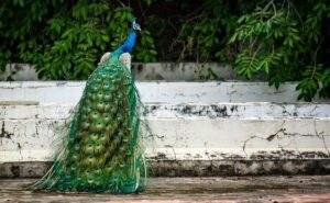 Peacock with eye feathers