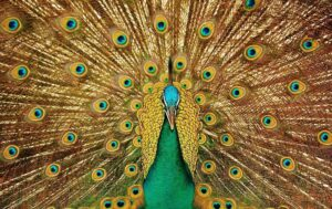 Peacock color drawing in brown