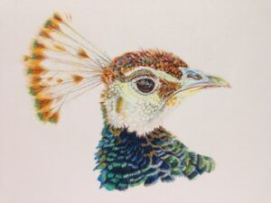 Peacock pencil drawing with color head