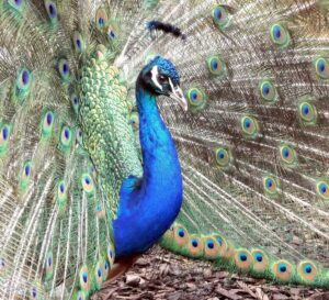 Colorful peacock drawing up close
