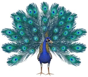 Peacock drawing in color with feathers spread
