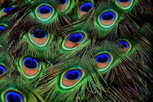 Peacock Feathers which hold a symbolism in Christianity
