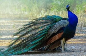 The peacock in Christianity