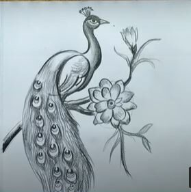 How to Draw a Peacock Step by Step with Pictures – Drawing a Peacock
