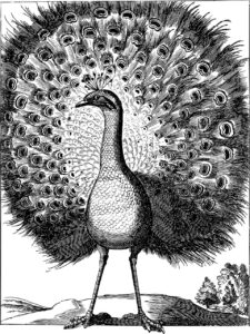 Peacock drawing in pencil