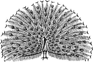 Peacock sketch with wild feathers