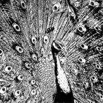 50+ Best Peacock Drawings - Realistic, Easy, Simple & Colorful