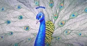 Peacock head and open feathers realistic drawing