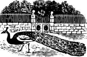 Peacock in front of gate drawing