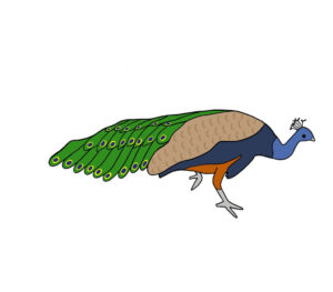 Simple peacock drawing in color from side
